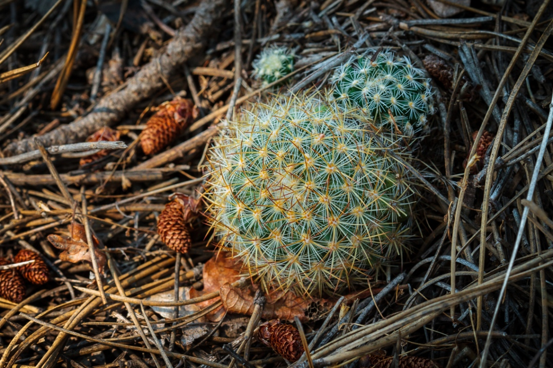 Pediocactus simpsonii, more commonly known as Mountain Ball cacti. I came across a small cluster of these, almost in exact power of two proportions relative to each other, while hiking a trail in Castlewood Canyon State Park, Colorado. I really love the light in this photo.