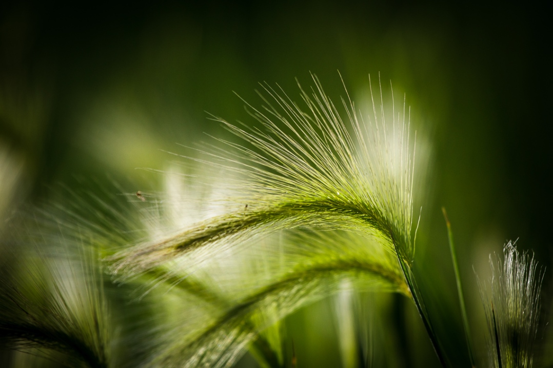 Nothing special, just some brilliant green wild grass grain catching a ray of sunlight near sunset.