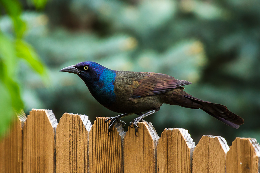 Gentil Backyard Birding: Blackbirds