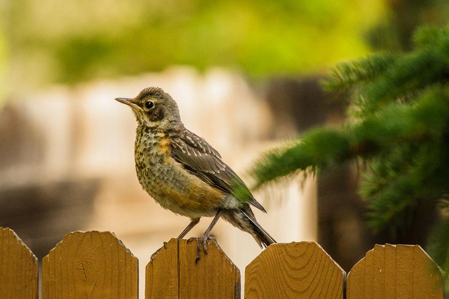 Merveilleux Backyard Birding: Robins