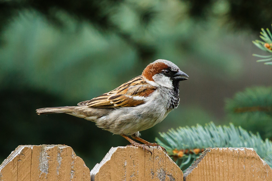 Charmant Backyard Birding: Sparrows