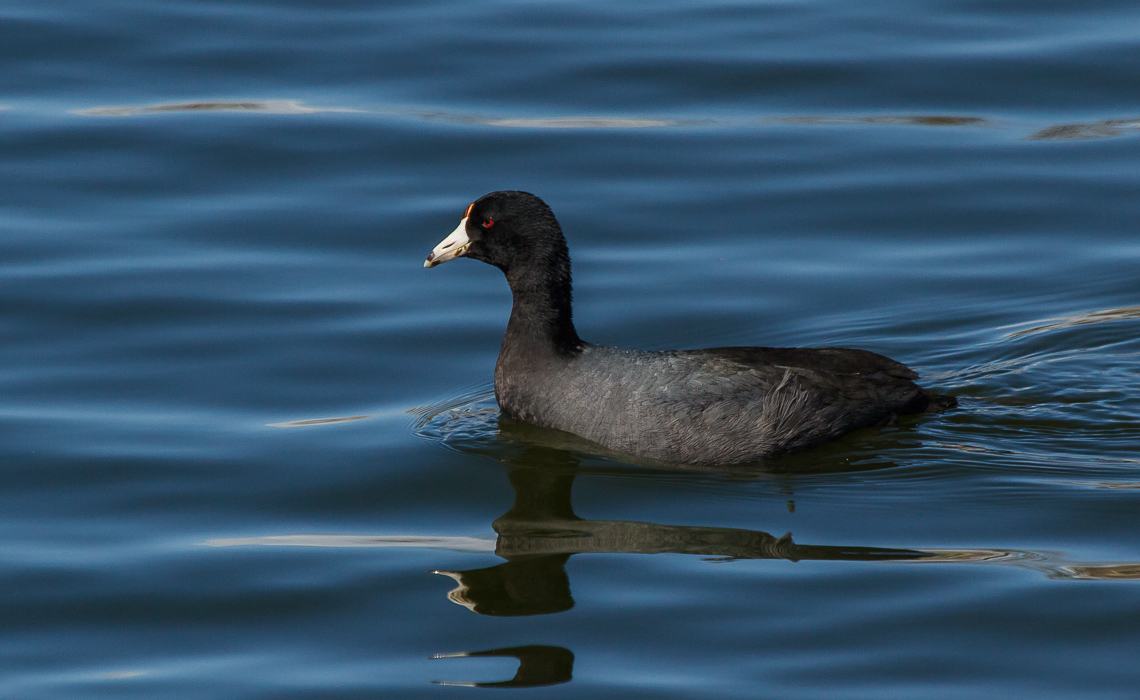 American Coot in Blue Waters at Duck Lake