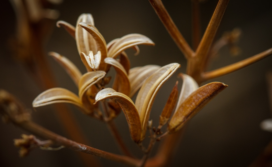 Lilac Seed Pods