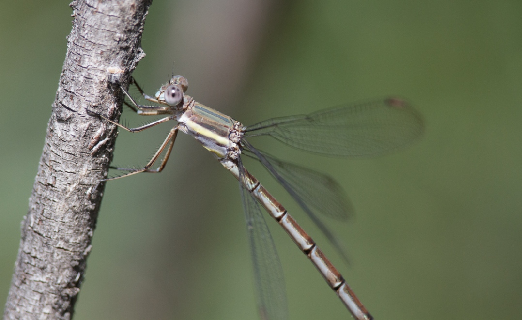 Branched Damselfly
