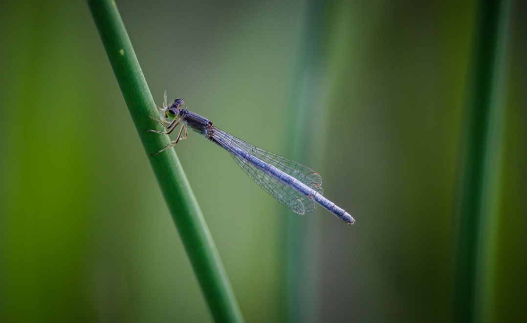 Damselfly Munchies