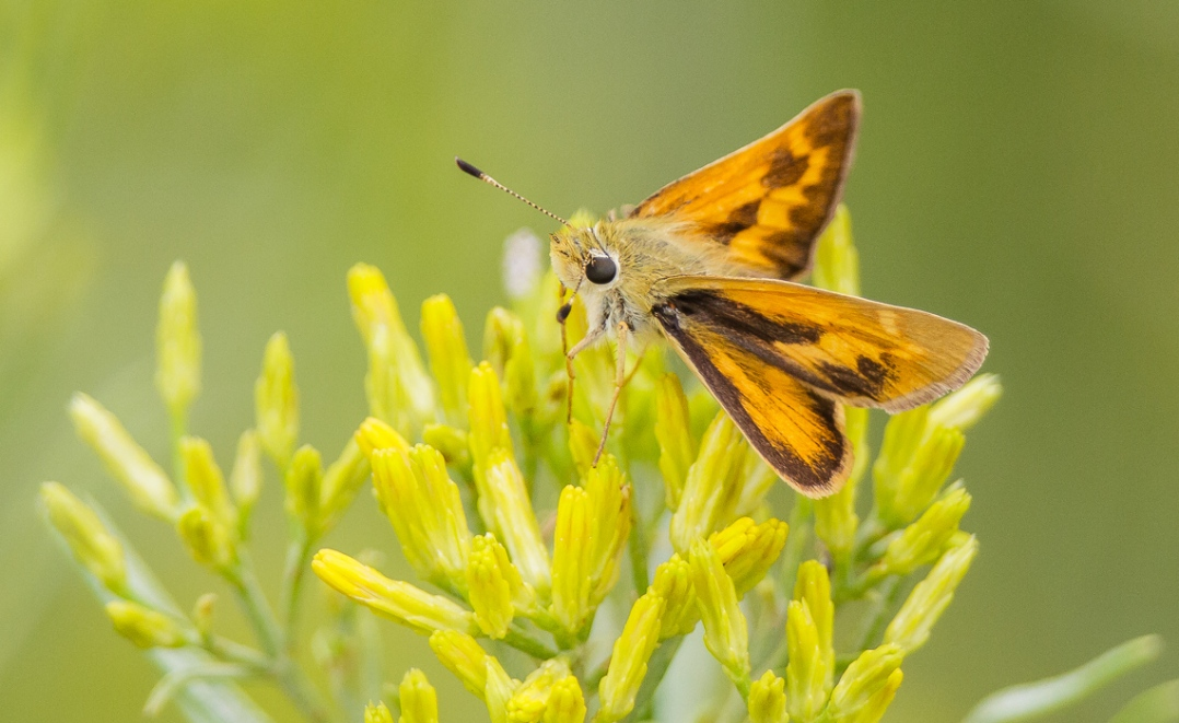 Grass Skipper