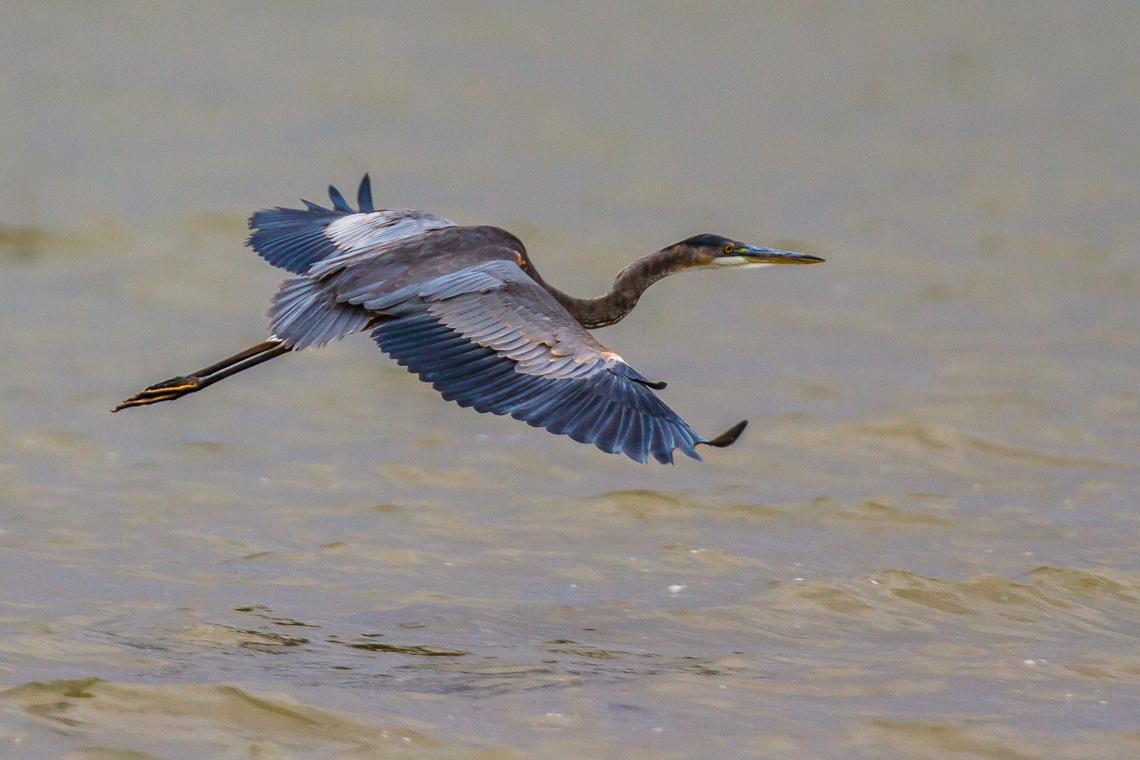 Great Blue Heron Landing (2 of 5)