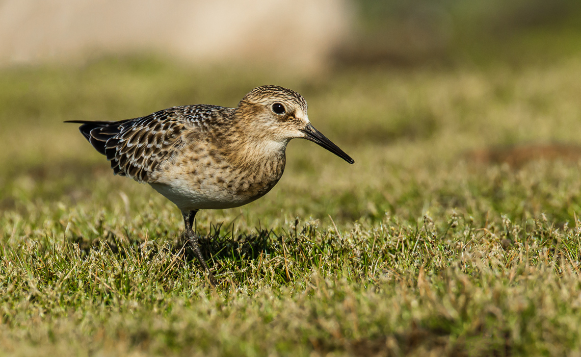 Juvenile Bairds Sandpiper at Chatfield Wetlands (3 of 6)