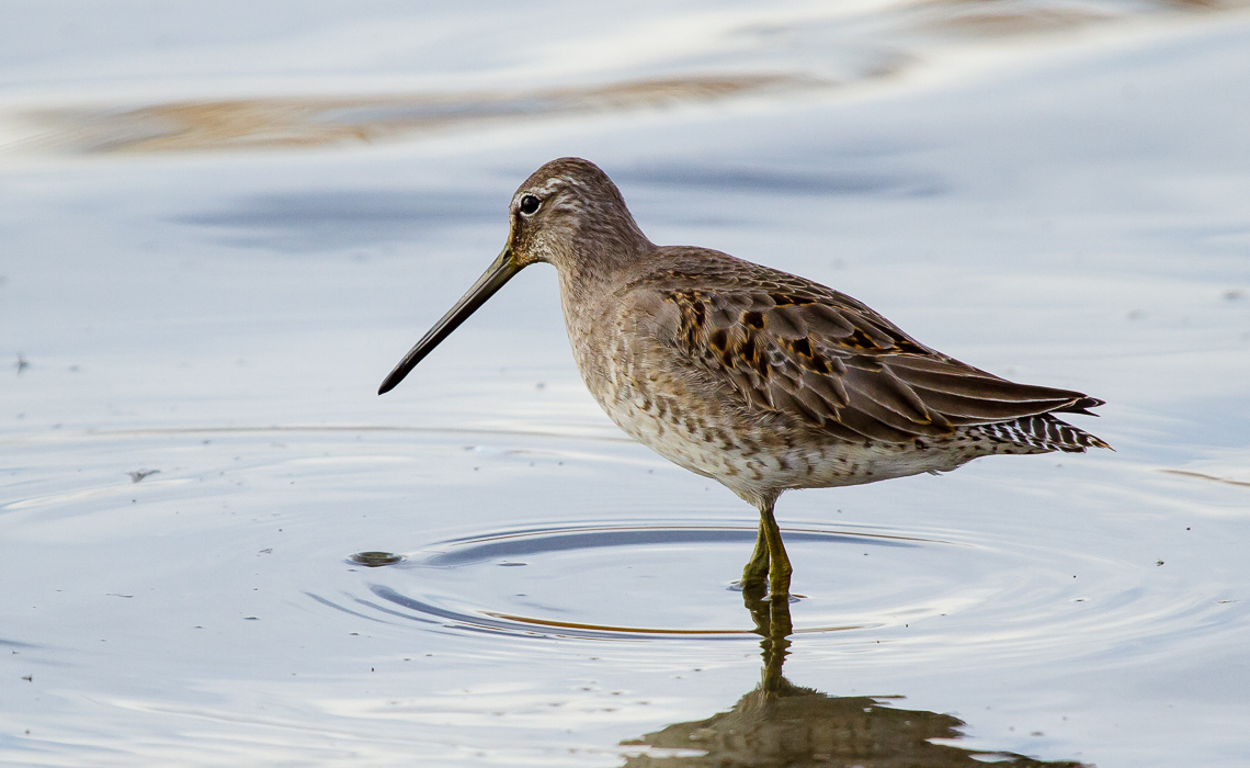 Long Billed Dowitcher