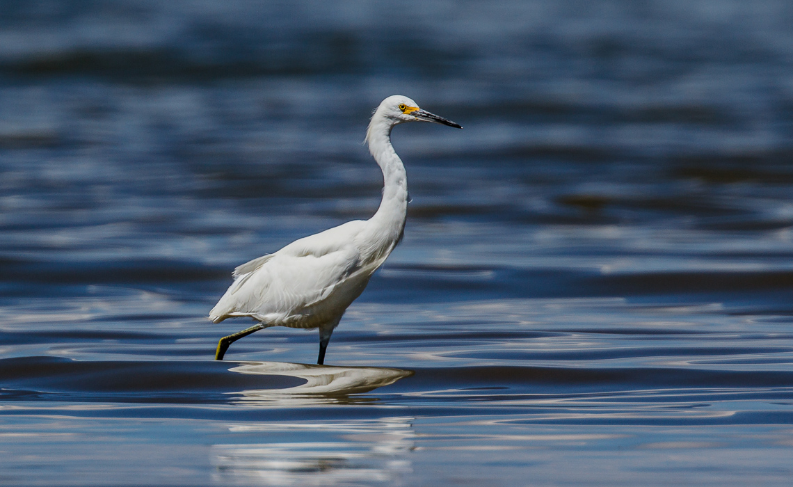 Snowy Egret Wading in Blue Waters