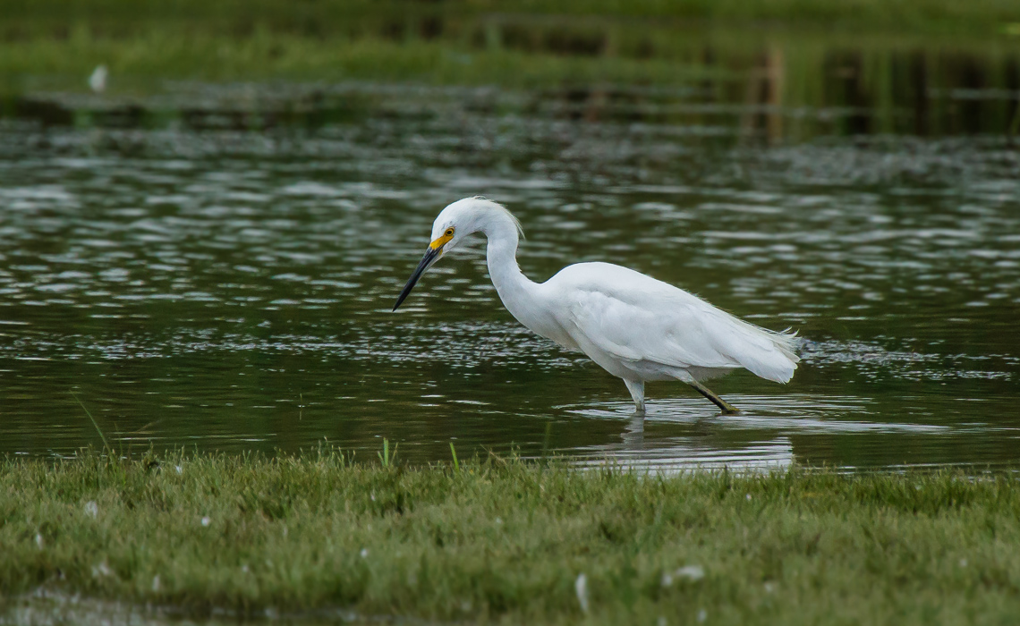 Snowy Egret Hunt