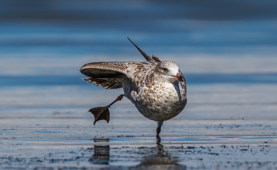 Stretching Juvenile Ring-billed Gull