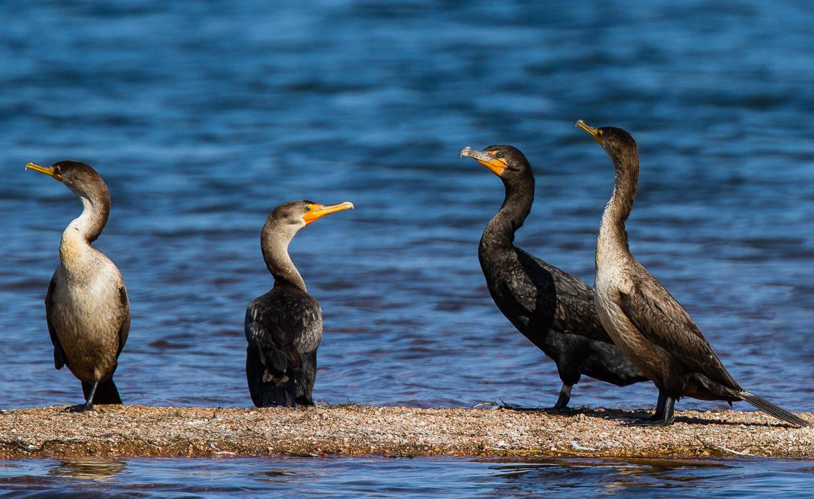 The Cormorant Crew