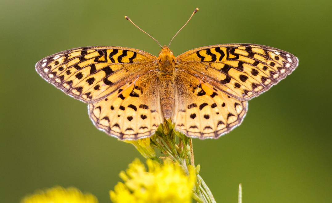 Zerene Fritillary Wings