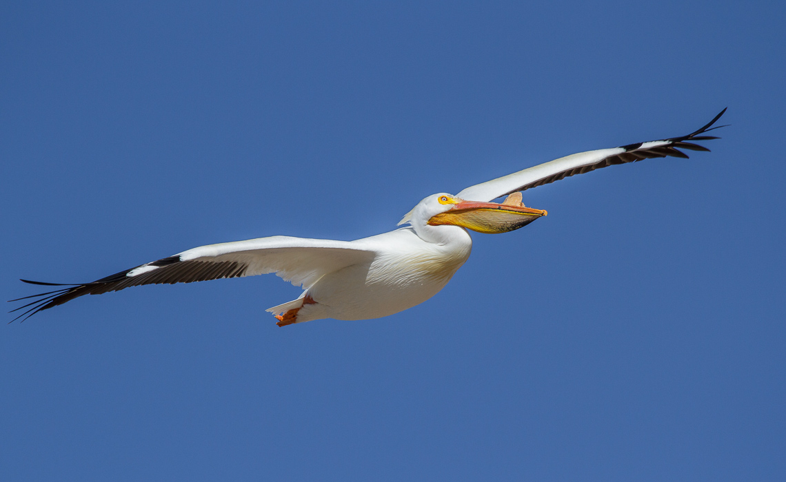 American White Pelican Fat Flight