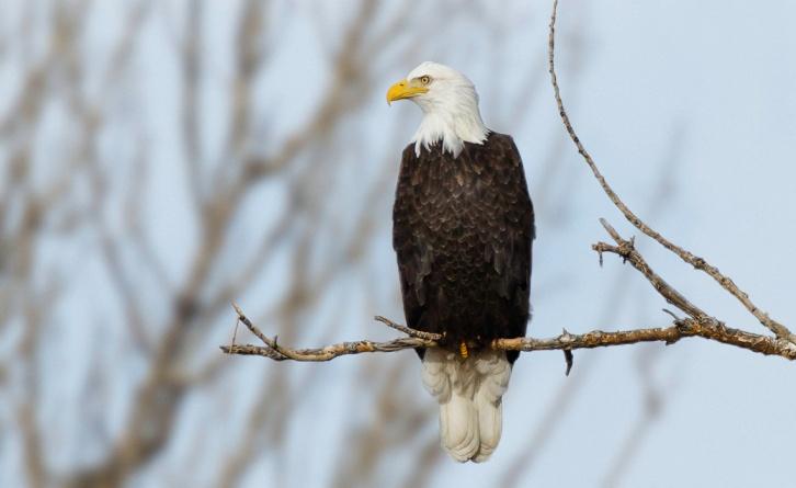 Bald Eagle Final