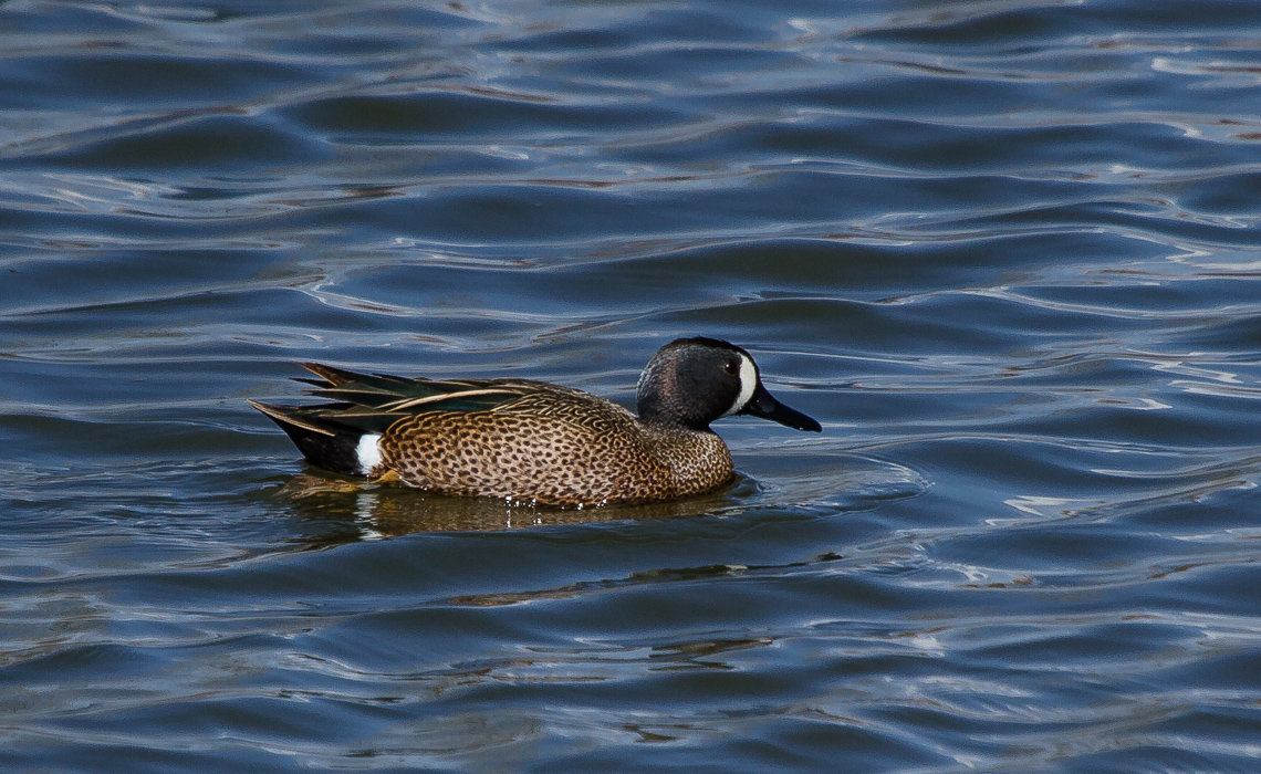 Cherry Creek Spring Ducks (6 of 6)