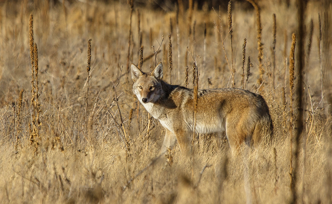Coyotes at Cherry Creek (1 of 8)