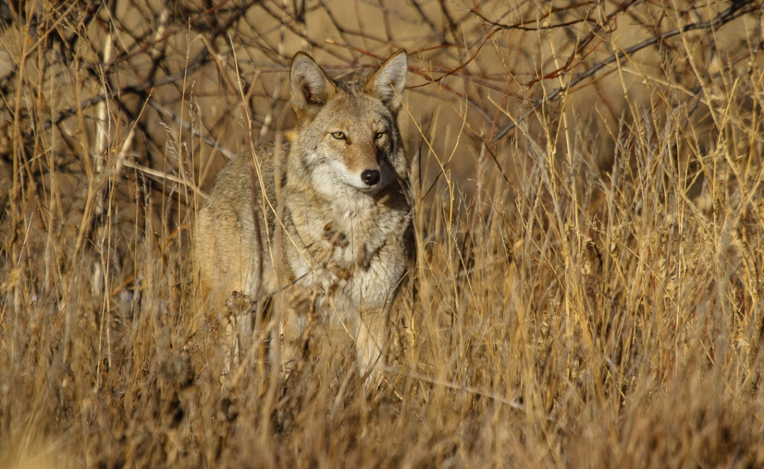 Coyotes at Cherry Creek (2 of 8)