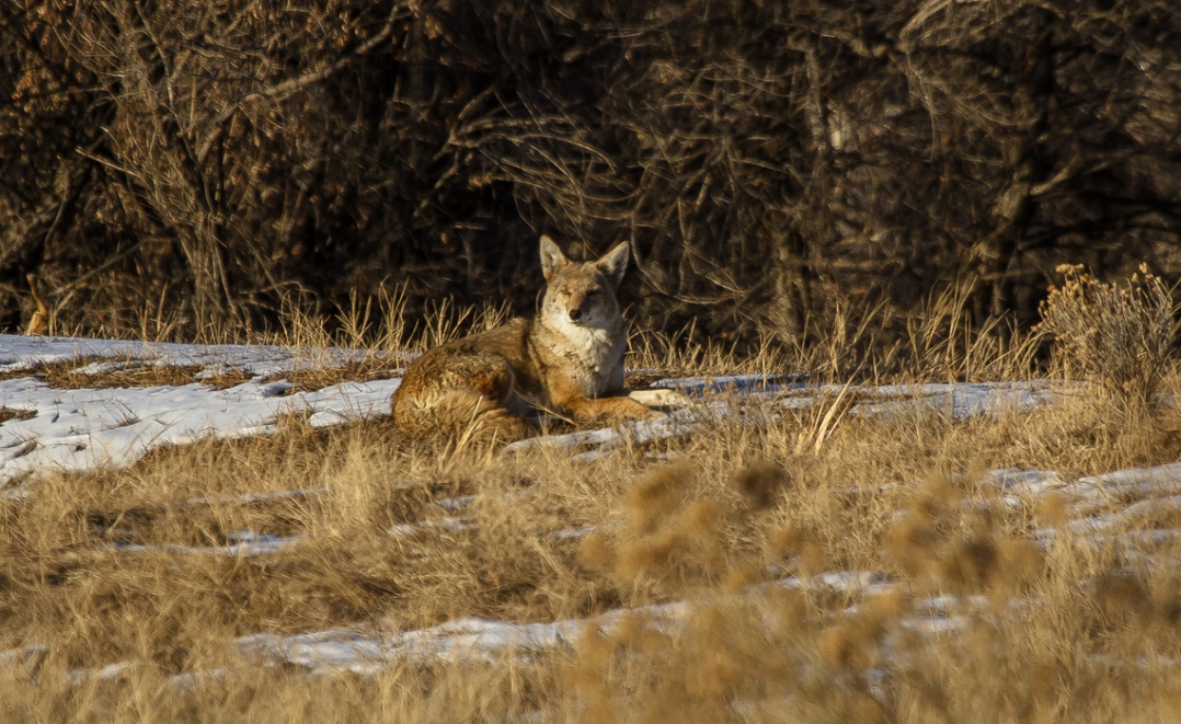 Coyotes at Cherry Creek (6 of 8)