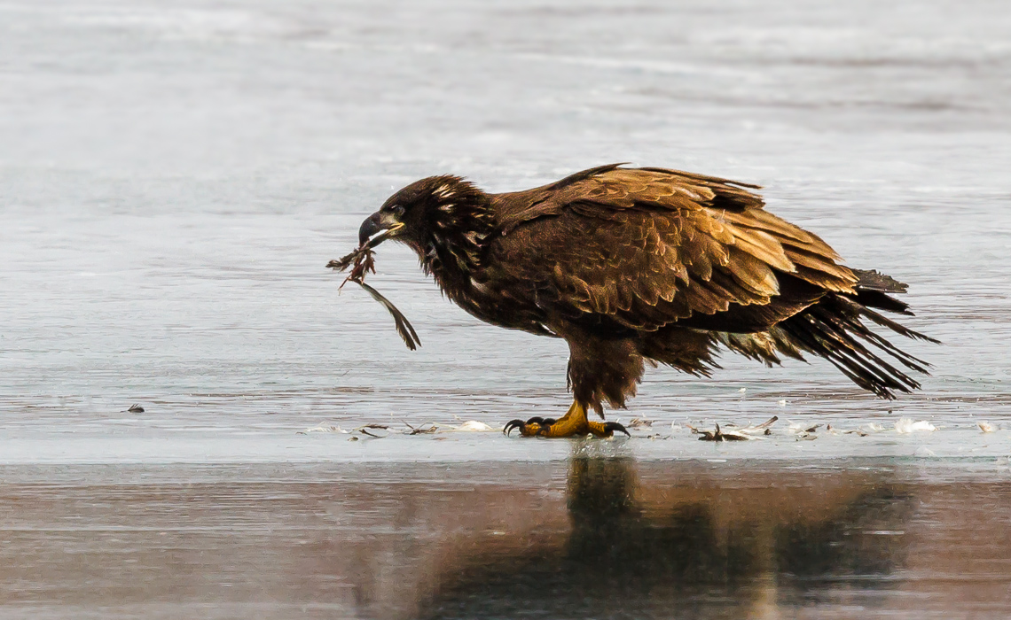 Golden Eagle with Meal (1 of 3)
