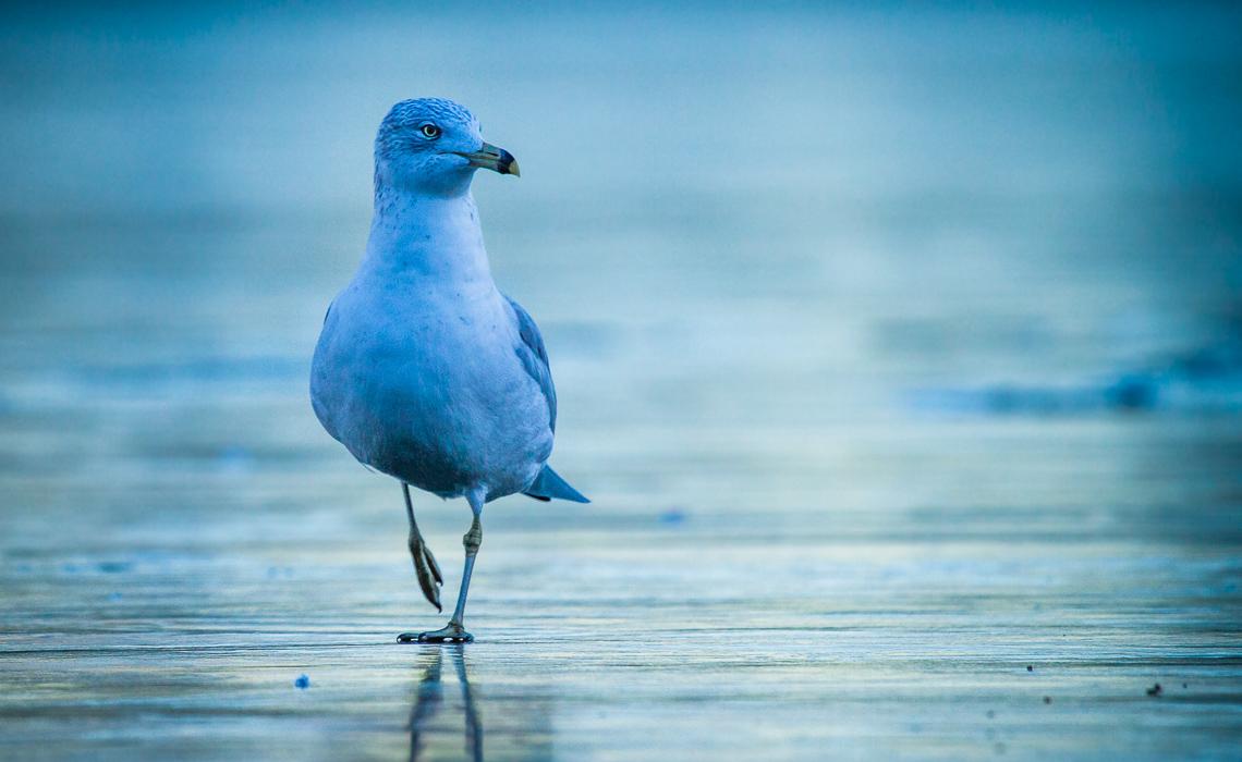 Gulls on Ice (1 of 4)