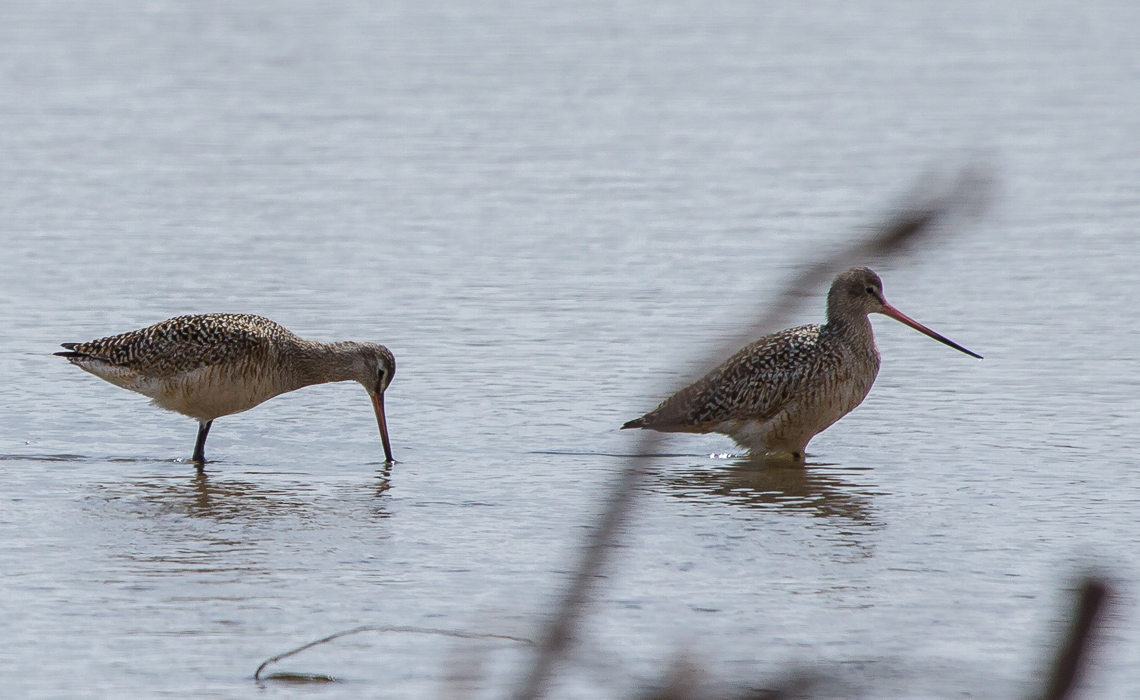 Hudsonian Godwit Pair - Rare Bird for Colorado (2 of 5)
