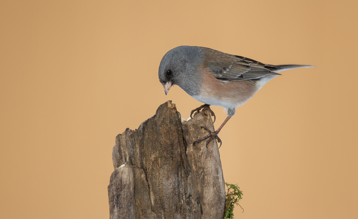 Invasion of the Juncos (13 of 14)