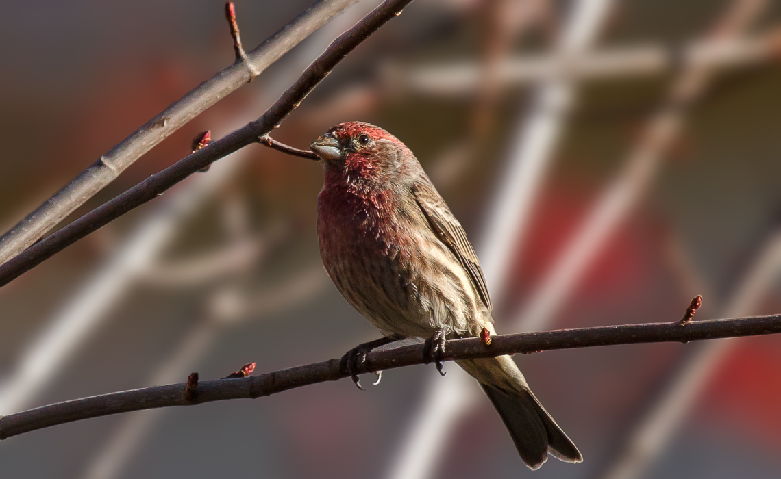 Late Fall Songbirds (1 of 5)