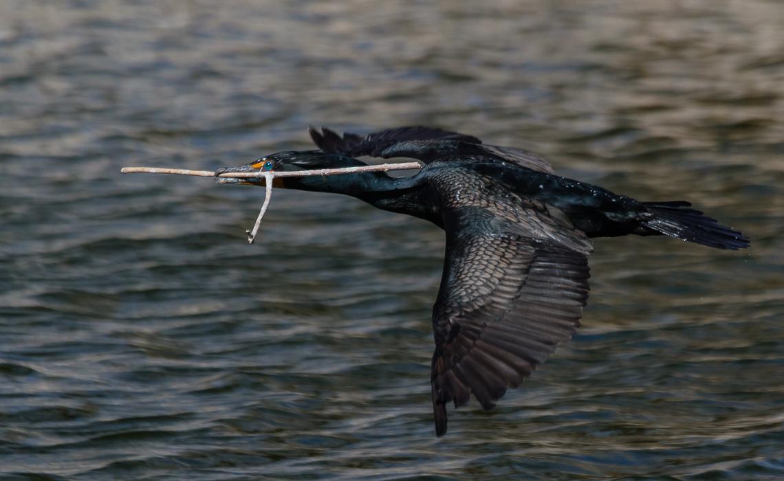 Nesting Cormorants at Duck Lake (1 of 10)