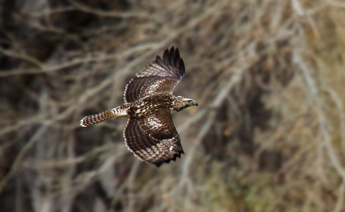 Red-tailed Hawk Flight