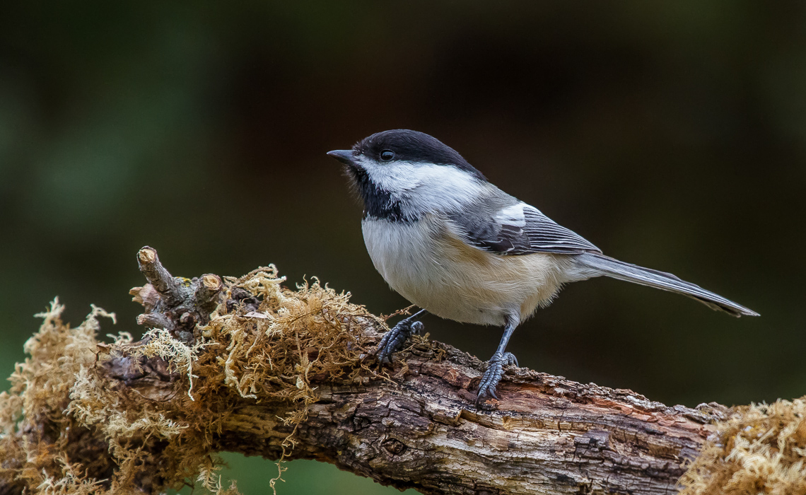The Energetic Chickadee (1 of 3)
