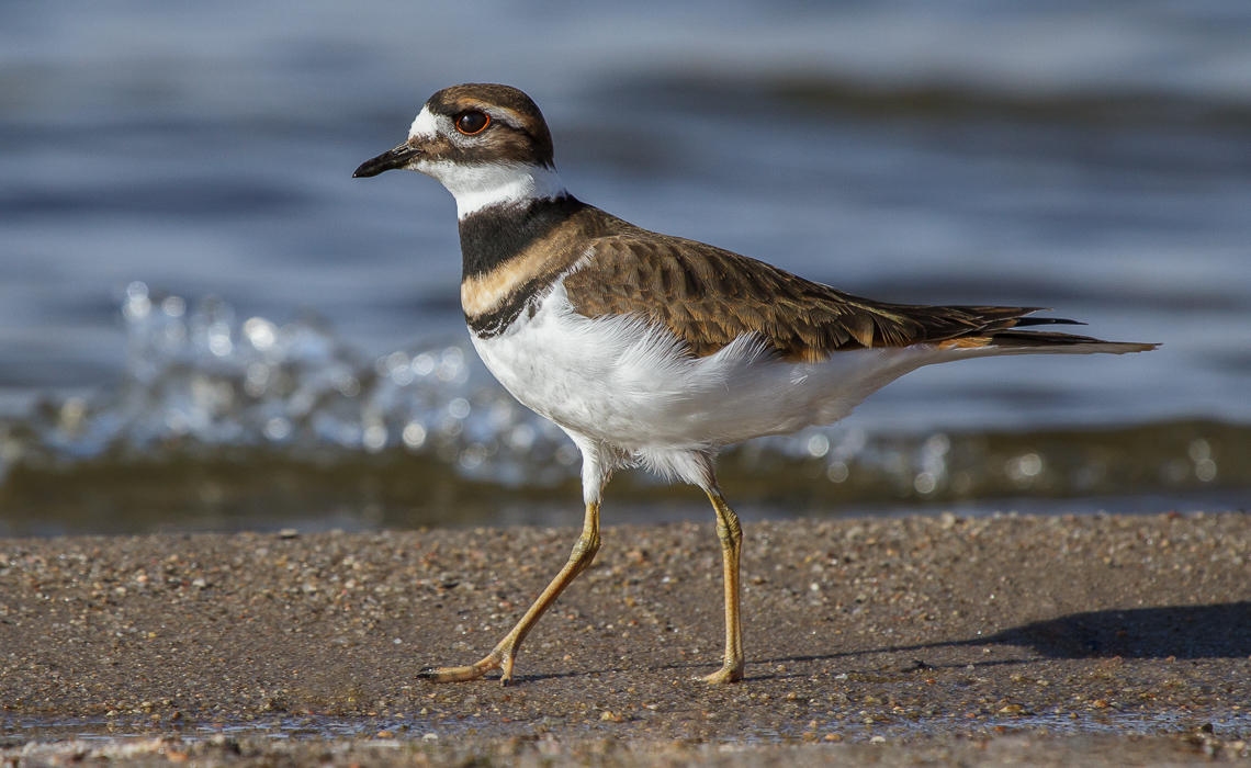 Winter Killdeer (7 of 7)