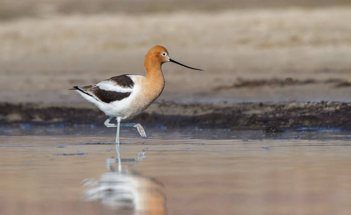 American Avocets at the Sand Spit (5 of 6)