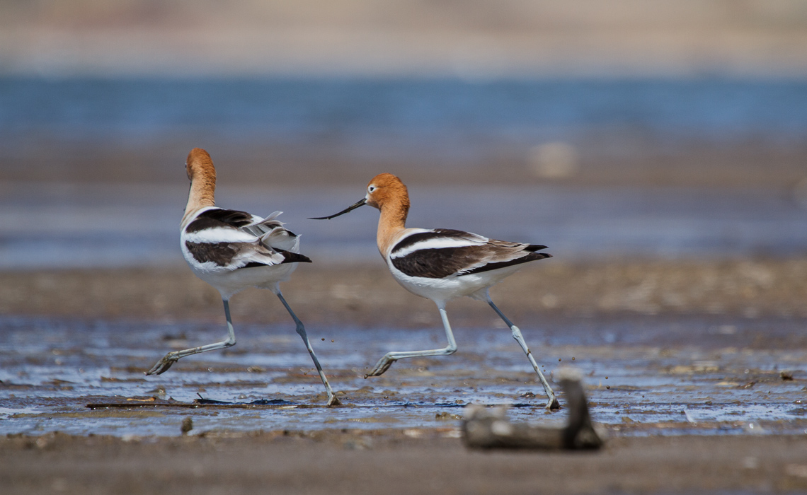 Avocet Chase (10 of 17)