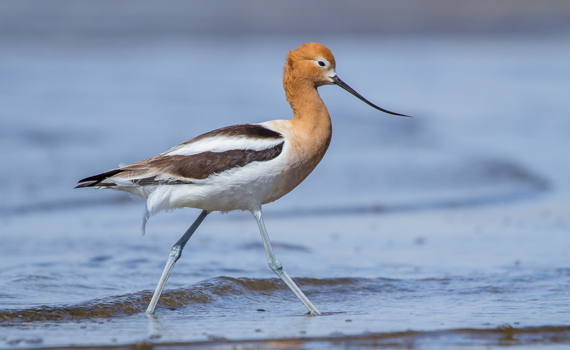 Avocets with Attitude (3 of 6)