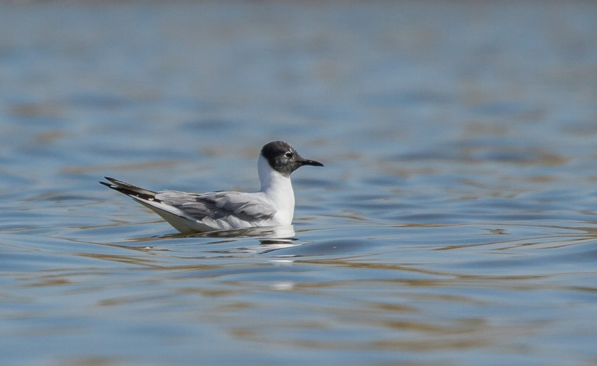 Bonaparte's Gull (1 of 3)