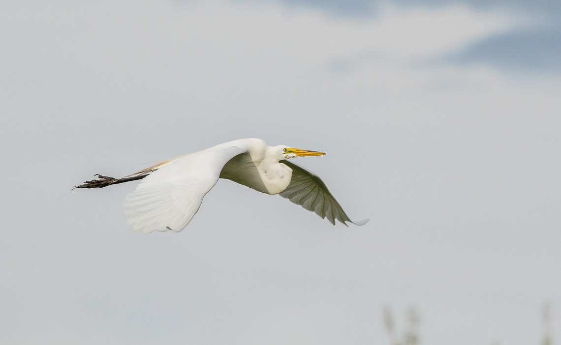 Great Egret in Flight (1 of 5)