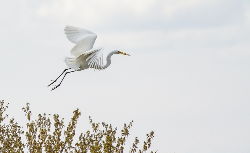 Great Egret Treetop Landing (1 of 11)