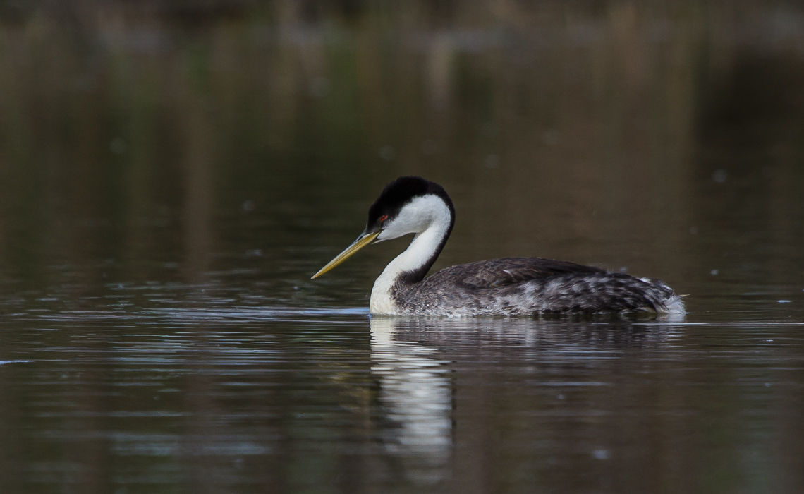 Lazy Western Grebes (2 of 8)