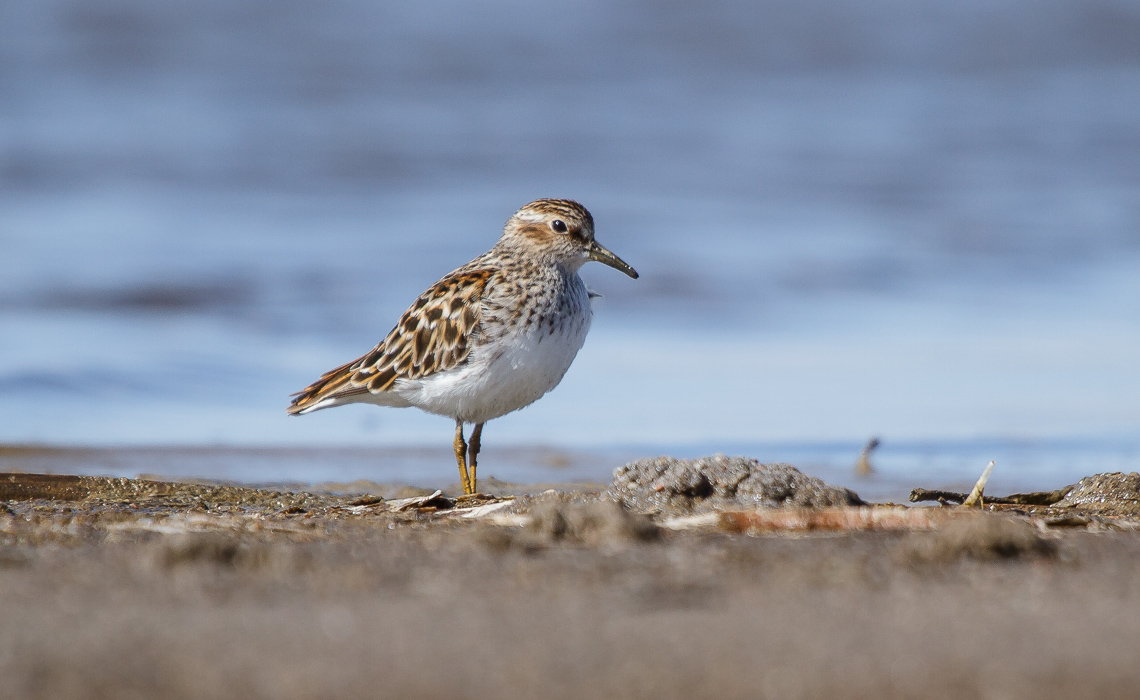 Least Sandpiper, the Smallest of them All (1 of 3)
