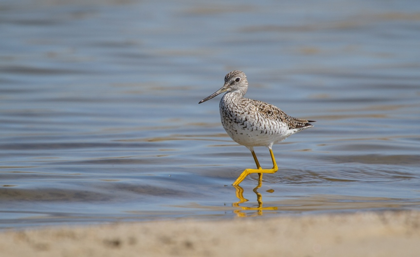Little Lesser Yellowlegs-6