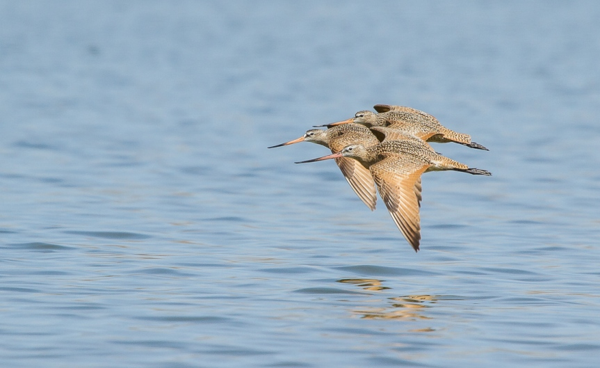 Marbled Godwits in Flight (3 of 6)