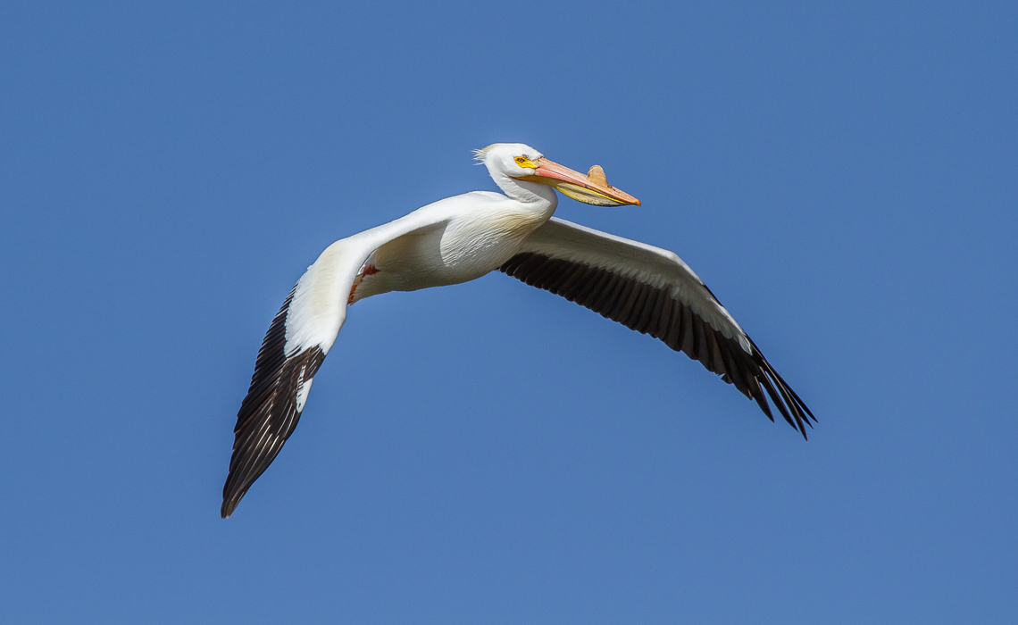Pelican Flyby (1 of 5)