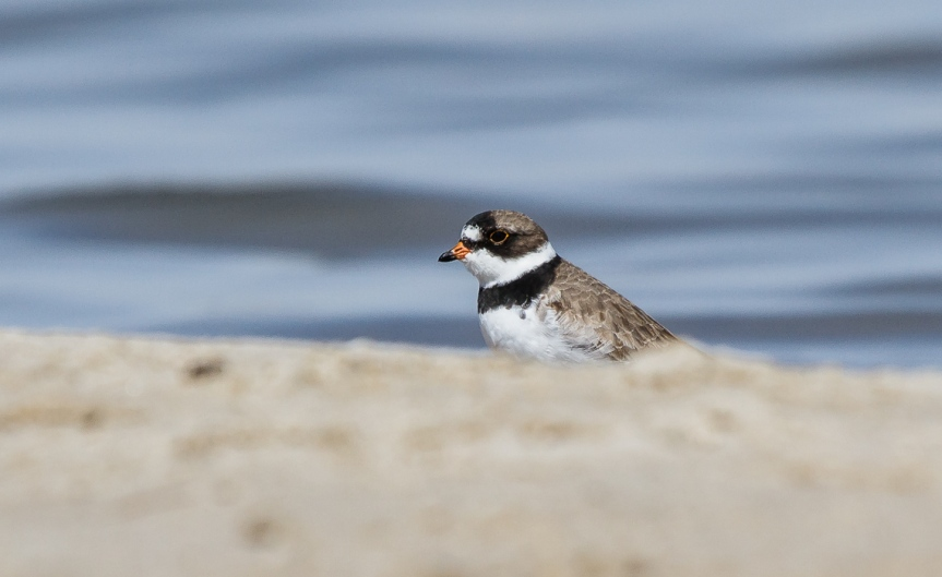 Sneaky Semipalmated Plover (1 of 4)