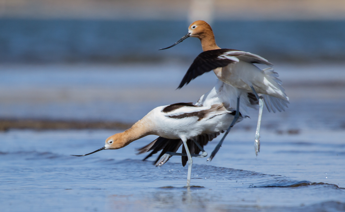 Squabbling Avocets 1 (3 of 5)