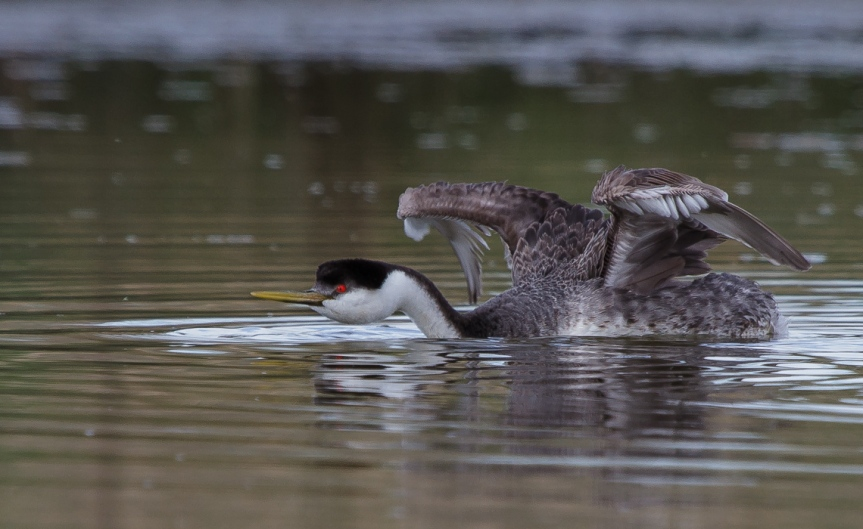 Stretching Western Grebe (2 of 6)