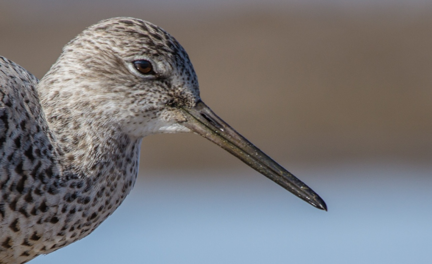Willet Head Shot