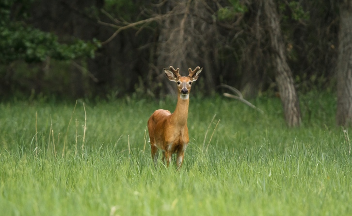 Prancer the Yearling Buck (2 of 8)