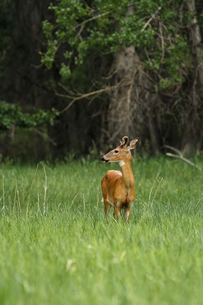 Prancer the Yearling Buck Tall